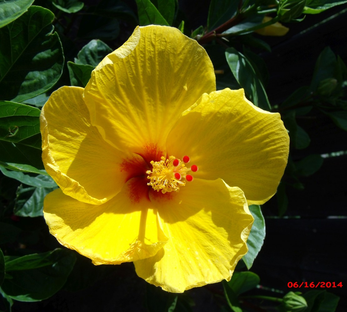 Today's Hibiscus photos – June 18, 2014 | The Daily Hibiscus