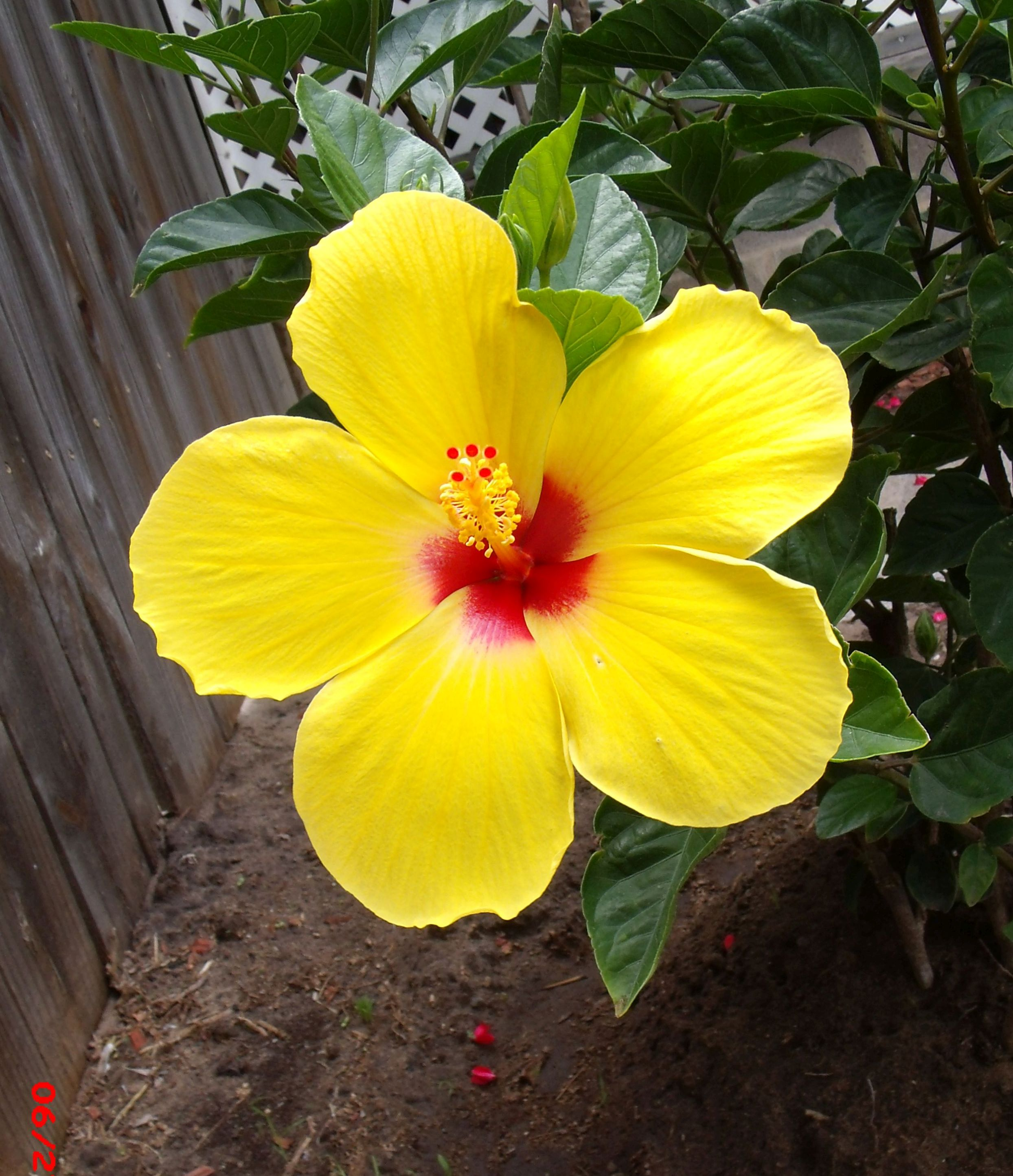 Tropical Flowers The Daily Hibiscus Page 7