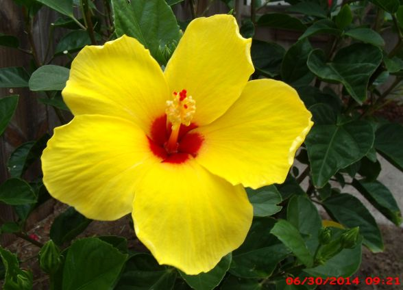 Hibiscus Are Very Beautiful With Yellow And Red 33