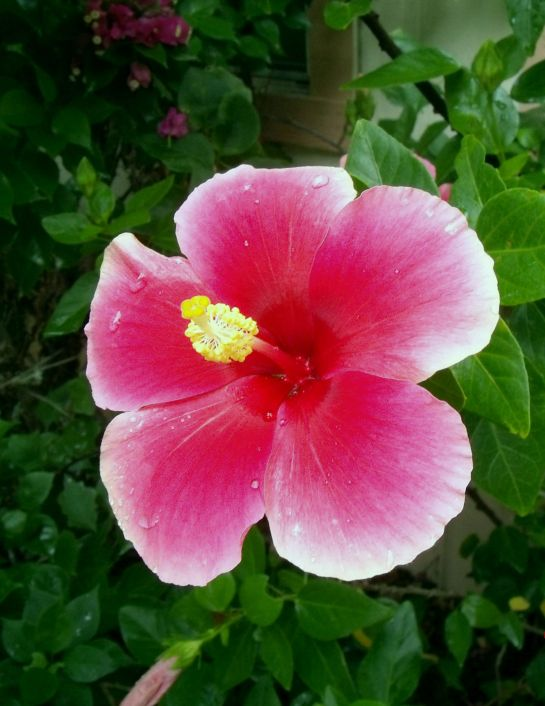 a few new Hibiscus flowers in the yard today | The Daily ...