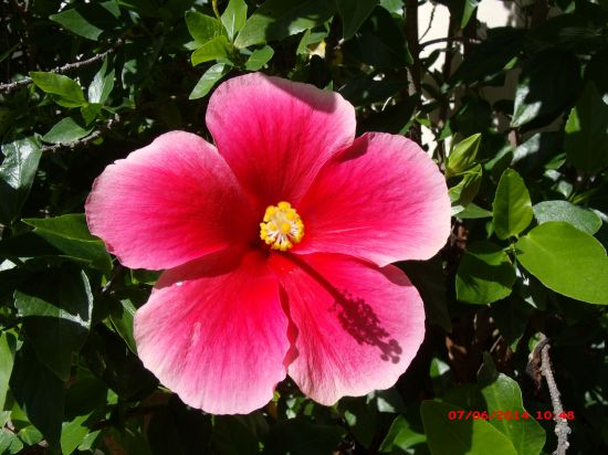 Hibiscus flowers seen in my yard this morning | The Daily ...