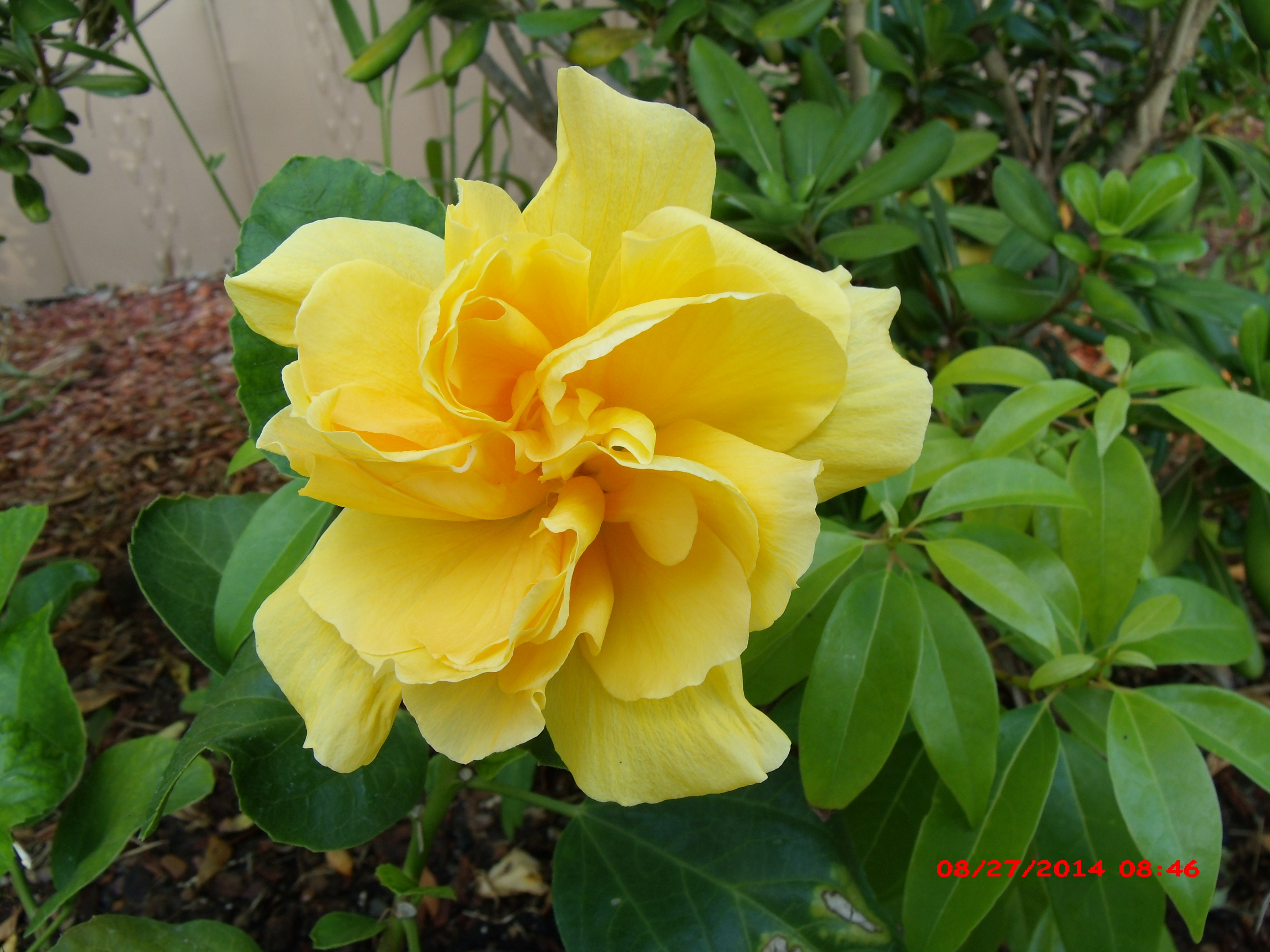 yellow hibiscus plant - photo #27