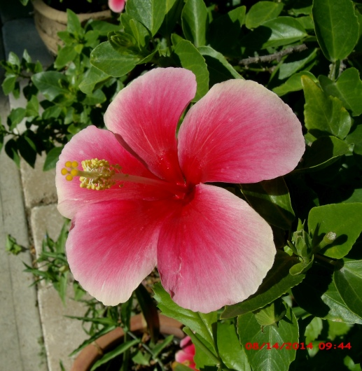 A few Hibiscus flowers in my yard today | The Daily Hibiscus