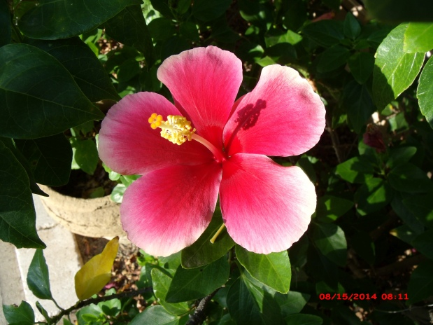 August   2014   The Daily Hibiscus