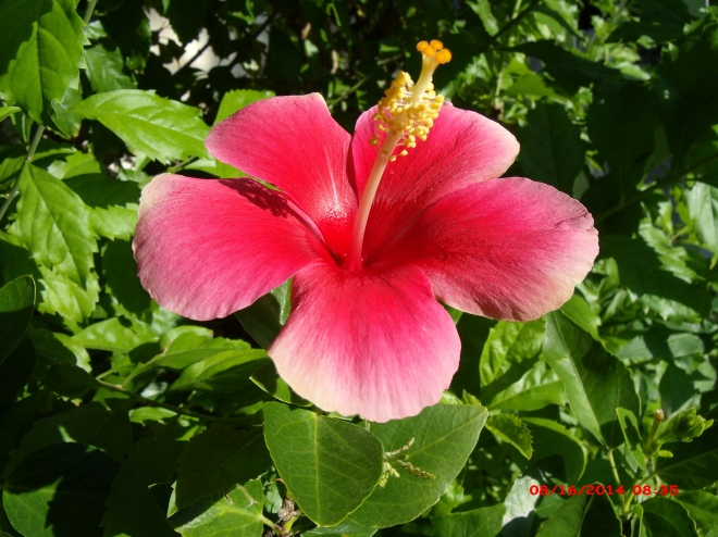 a few more Hibiscus flowers in my yard this weekend | The ...