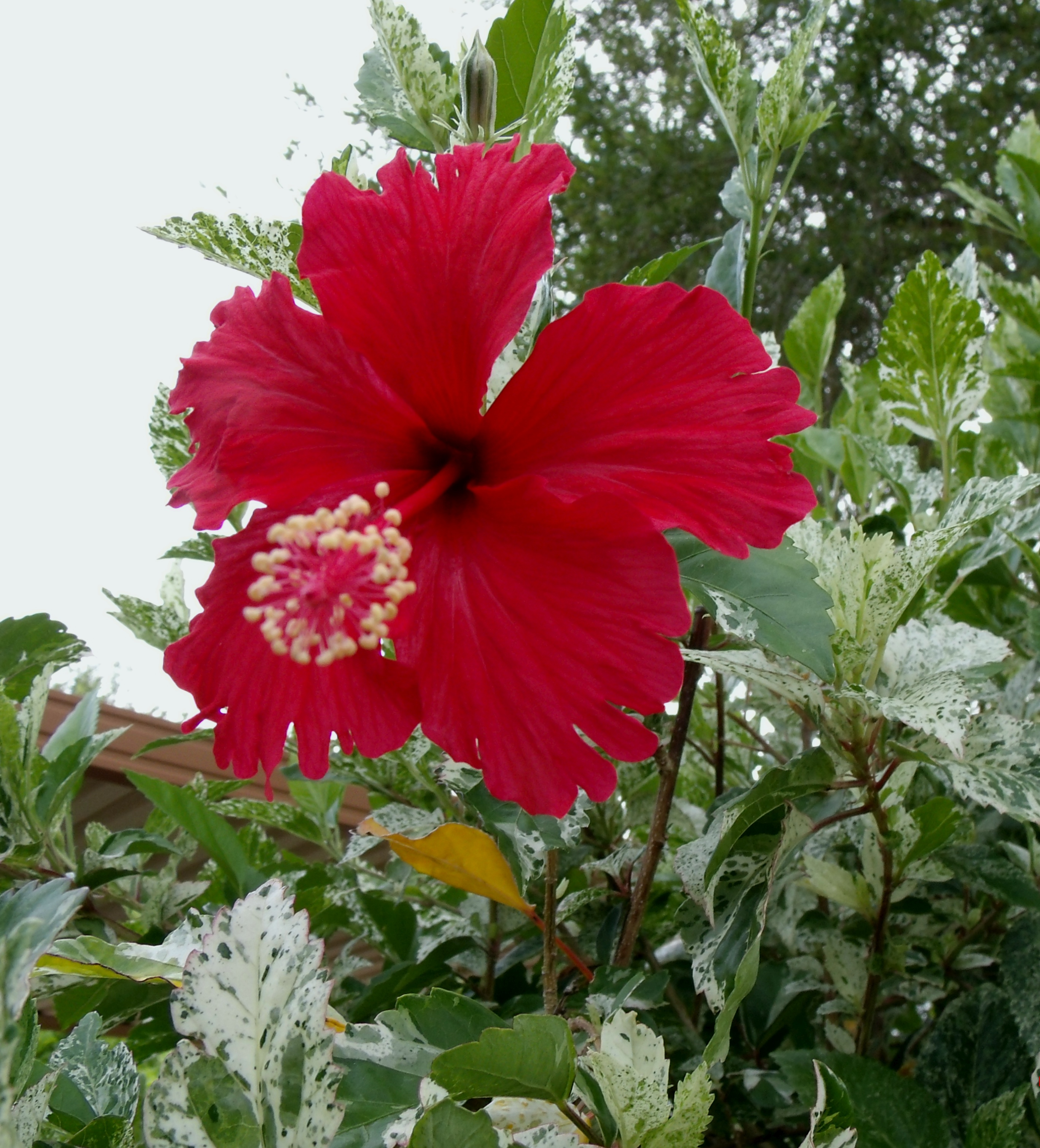 This mornings hibiscus flowers the daily hibiscus single red hibiscus flower izmirmasajfo Choice Image