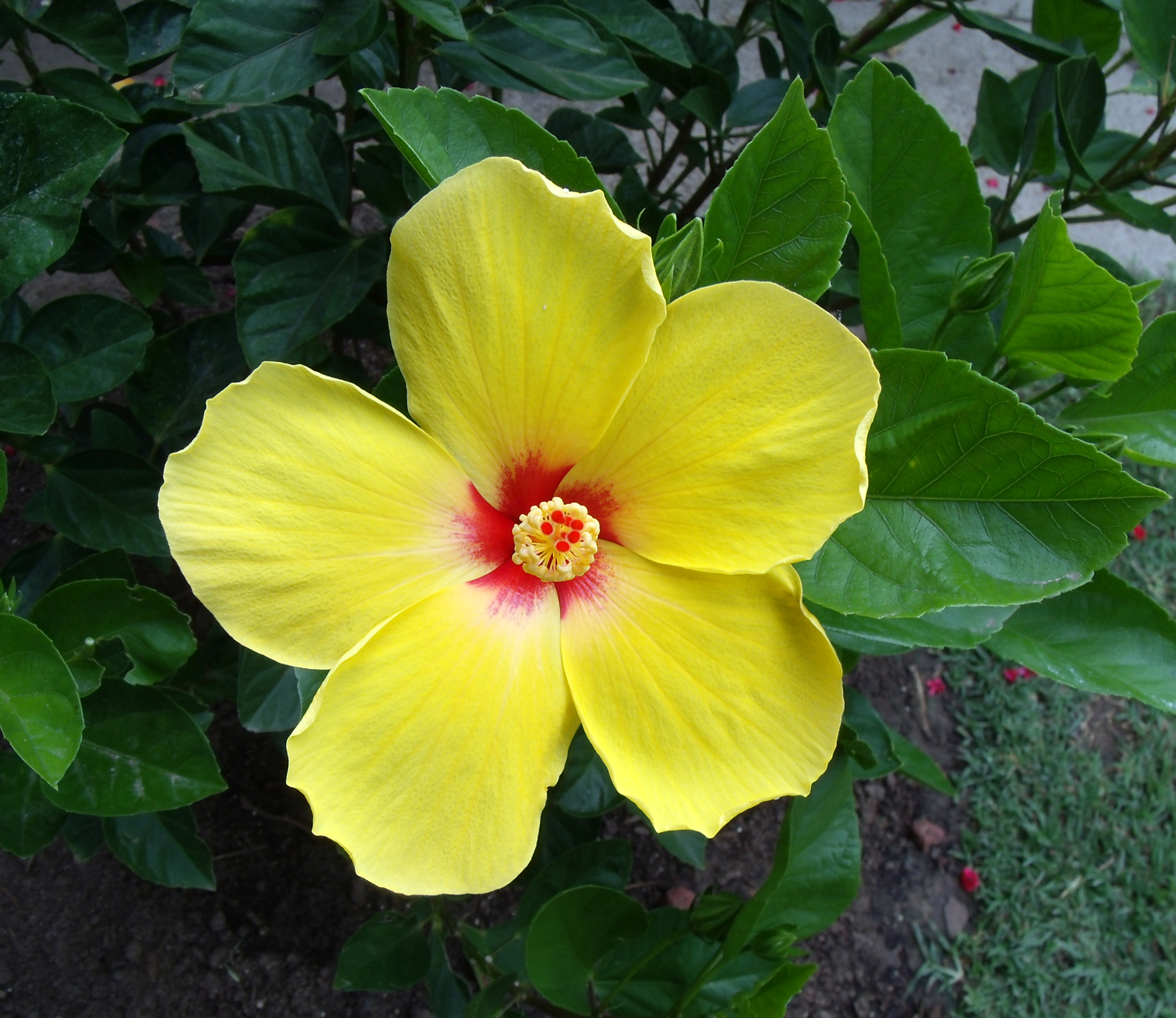 The Daily Hibiscus Daily Photographs Of Hibiscus Flowers In My