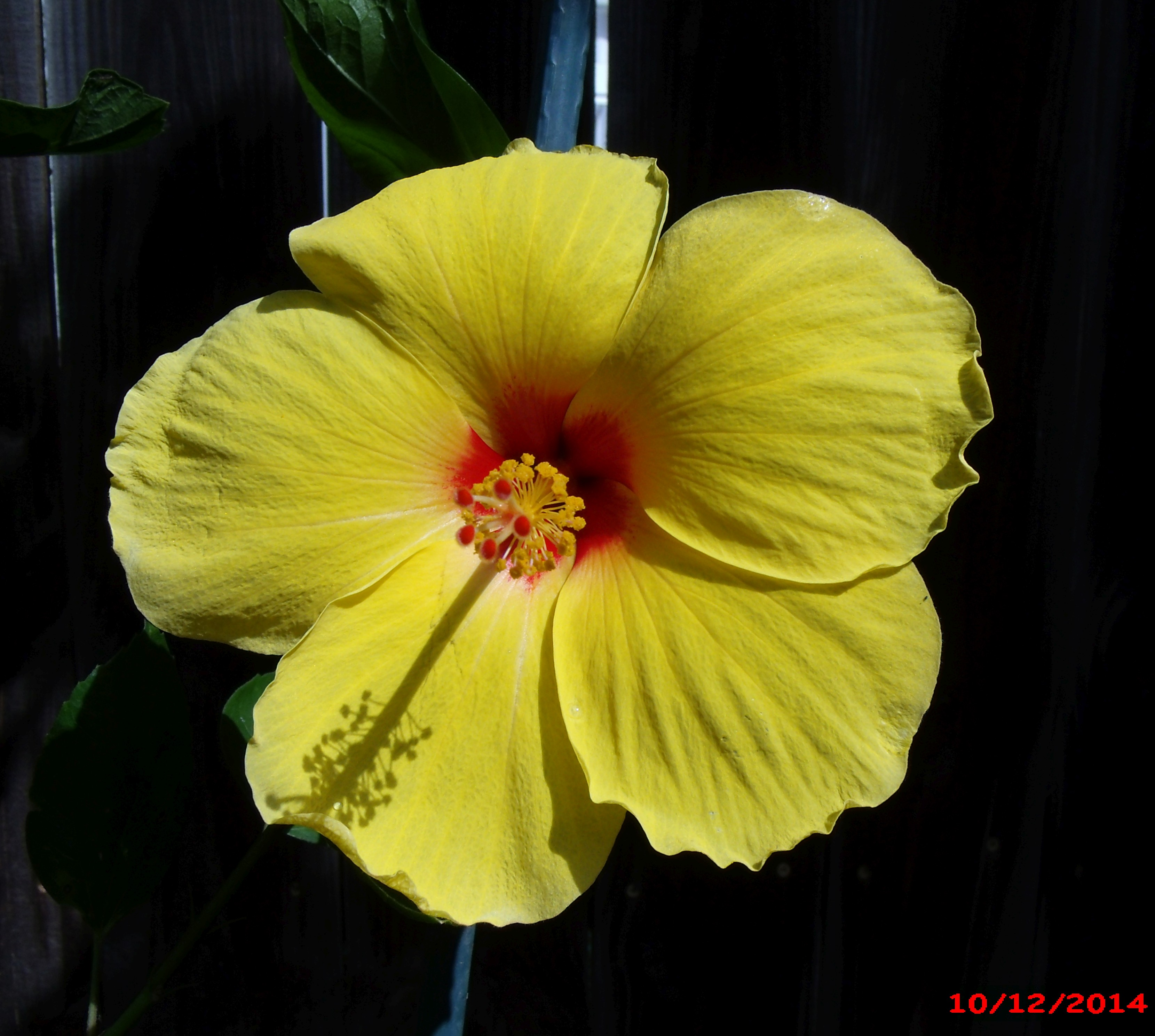 Hibiscus Of The Day The Daily Hibiscus