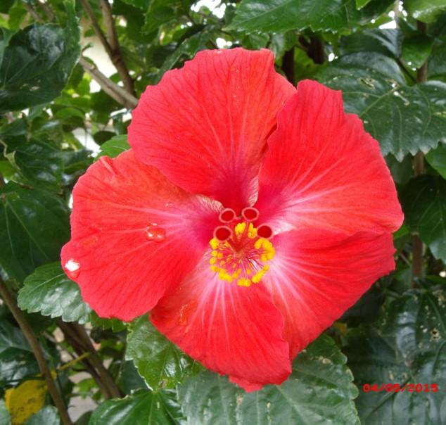 ... of hibiscus...