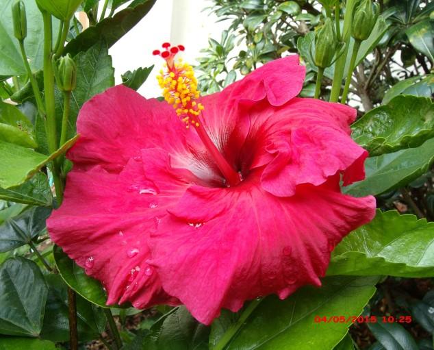 Hibiscus Flower...