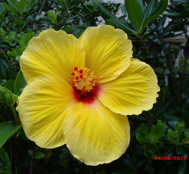 A few hibiscus flowers in the yard today the daily hibiscus single yellow hibiscus flower with a red center mightylinksfo